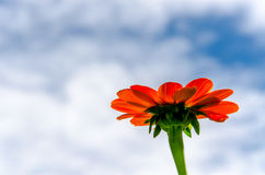 Den röda zinniaen blommar i trädgården Arkivbild
