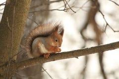 Den rödhåriga ekorren på ett träd i en vinter parkerar Royaltyfri Fotografi