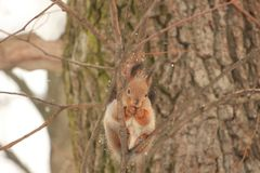 Den rödhåriga ekorren på ett träd i en vinter parkerar Arkivfoto