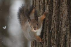 Den rödhåriga ekorren på ett träd i en vinter parkerar Royaltyfria Foton