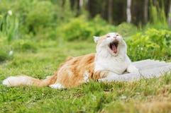 Den rödhåriga katten med en vit bröstkorg gäspar att ligga på grönt gräs Arkivbilder