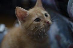 Den rödhåriga kattungen arkivfoto