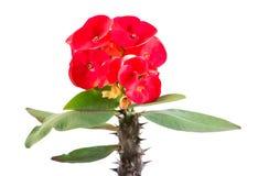Den r?da kronan av taggar blommar p? vit bakgrund Isolerad Kristustaggblomma Isolerad krona av taggblomman royaltyfria bilder