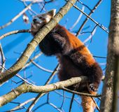 Den r?da pandan, Ailurusfulgens som kallas ocks? mindre panda royaltyfri foto