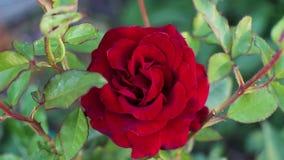Den r?da rosen blommar i tr?dg?rden arkivfilmer