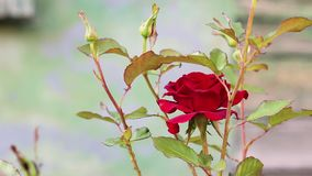 Den r?da rosen blommar i tr?dg?rden lager videofilmer