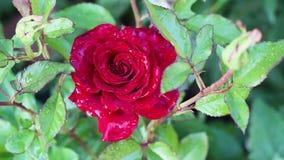 Den r?da rosen blommar i tr?dg?rden stock video
