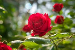 Den r?da rosen ?r i solljuset i sommarmorgontr?dg?rd Bakgrund arkivfoto