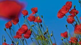 Den r?da vallmo blommar i ett f?lt arkivfilmer