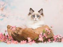 Den Ragdoll kattungen i en träskala med pastell färgade bakgrund Arkivfoto