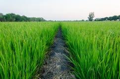 Den raka vägen för passerande ricefielden Arkivfoto