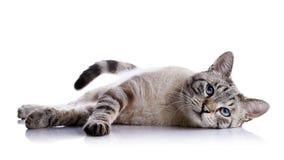 Den randiga blåögda katten ligger på en vit bakgrund Fotografering för Bildbyråer