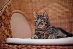 Den randiga inhemska kattungen ligger på en vide- stol Arkivfoton