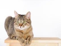 Den randiga katten som ligger på en stol och ser uppmärksamt, kameran Royaltyfri Fotografi