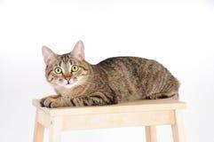 Den randiga katten som ligger på en stol och ser uppmärksamt, kameran Arkivfoto