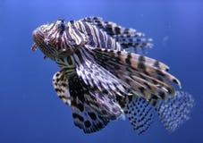 Lionfishen bevattnar in Arkivfoto