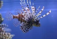 Lionfishen bevattnar in Royaltyfri Foto