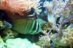 Den randiga mång--färgade fisken var tyst mellan koraller och alger Royaltyfri Bild