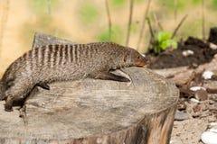 Den randiga mungor vilar på en stubbe i den Ruaha nationalparken, Iringa, Tansania Royaltyfri Foto