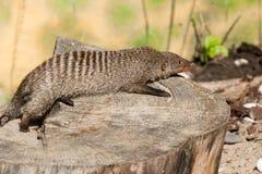 Den randiga mungor vilar på en stubbe i den Ruaha nationalparken, Iringa, Tansania Arkivbild