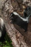 Den randiga skunkKit Mephitis mephitisen plirar över journal på modern Royaltyfria Bilder