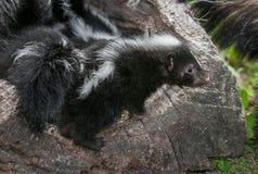 Den randiga skunkKit Mephitis mephitisen ser över kanten av journalen Royaltyfria Bilder