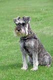 Den rasrena miniatyrschnauzerhunden poserar Arkivfoton