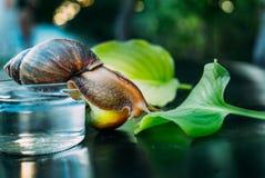 Den rasrena snigeln kryper till det gröna bladet av växten Hon flyttar sig från en exponeringsglaskrus royaltyfri foto