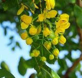 Den Ratchaphruek blomman eller Cassia Fistula Flower Royaltyfri Fotografi