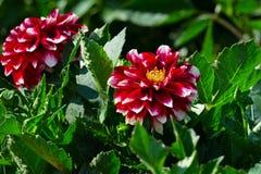 Den röda dahlian på blomsterrabatt på sommar parkerar Royaltyfri Foto
