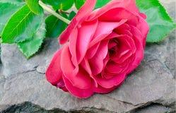 Den röda rosen ligger på en sten Arkivbilder