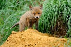 Den röda räven behandla som ett barn Royaltyfria Bilder