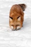Den röda räven (Vulpesvulpes) stryker omkring in mot tittaren Fotografering för Bildbyråer
