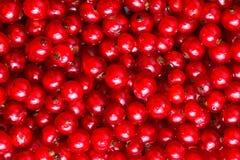 Den röda vinbäret Royaltyfria Foton