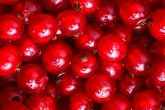 Den röda vinbäret Royaltyfri Fotografi