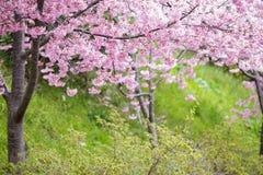 Den realistiska sakura körsbärsröda filialen med att blomma blommar med trevligt b Fotografering för Bildbyråer