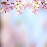 Den realistiska sakura körsbärsröda filialen med att blomma blommar med trevligt b Arkivfoton
