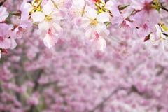 Den realistiska sakura körsbärsröda filialen med att blomma blommar med trevligt b Arkivbilder