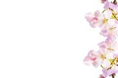 Den realistiska sakura körsbärsröda filialen med att blomma blommar med trevligt b Royaltyfri Fotografi