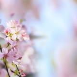 Den realistiska sakura körsbärsröda filialen med att blomma blommar med trevligt b Arkivbild