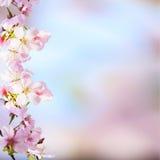 Den realistiska sakura körsbärsröda filialen med att blomma blommar med trevligt b Royaltyfria Foton