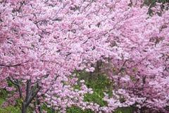 Den realistiska sakura körsbärsröda filialen med att blomma blommar med trevligt b Royaltyfri Foto