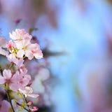Den realistiska sakura körsbärsröda filialen med att blomma blommar med trevligt b Royaltyfria Bilder