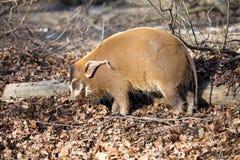 Den Red River gödsvinet, Potamochoerus porcuspictus, är den bästa representanten av svin arkivfoton