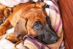 Den Rhodeian Ridgeback valpen ligger på golvet Vila den unga hunden Ögon för hund` s arkivfoto