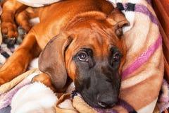 Den Rhodeian Ridgeback valpen ligger på golvet Vila den unga hunden Ögon för hund` s arkivbild