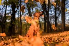 Den Rhodesian Ridgeback hunden sitter fallande leaves för höst Arkivbild