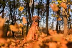 Den Rhodesian Ridgeback hunden sitter fallande leaves för höst Arkivfoto
