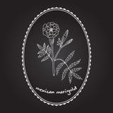 Den Rhodiola roseaen eller guld- rotar Stock Illustrationer