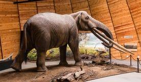 Den Rhodopean mastodonten, Anancus arvernensis, Bulgarien Arkivfoto